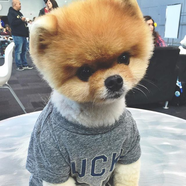 Best Jiffpom Images On Pinterest Puppies Baby Animals And - Jiff the pomeranian is easily the best dressed model on instagram
