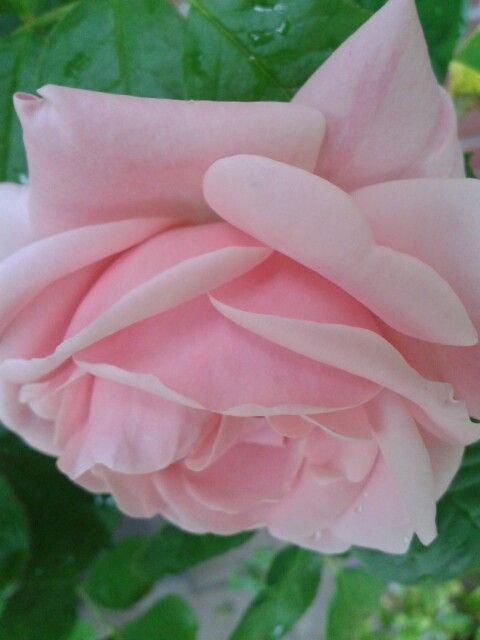 'Astrid Lindgren' rose ♥