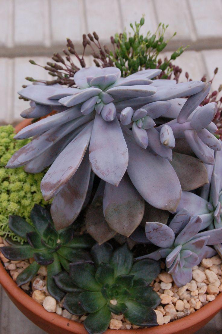 best sukkulenten images on pinterest succulent plants