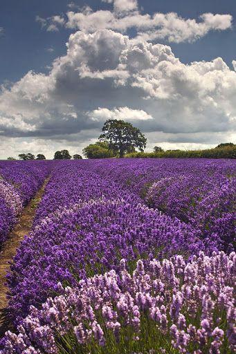 Lavender fields                                                                                                                                                                                 Más