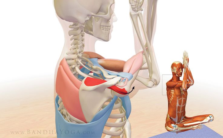 The Daily Bandha: Shoulder Biomechanics, Part III: The Supraspinatus Muscle