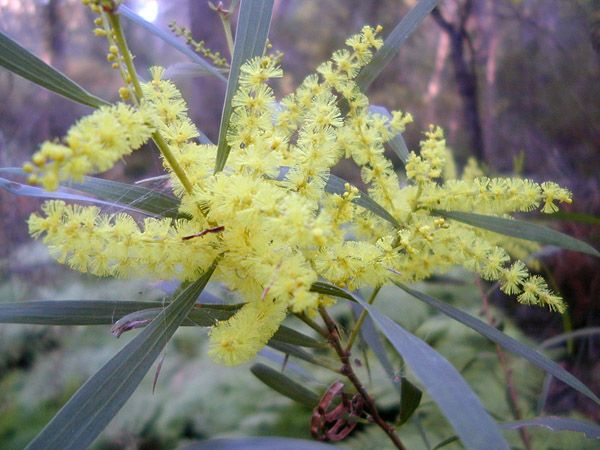 The Sydney Golden Wattle (Acacia longifolia) - when it flowers, the Aboriginal people of the Sydney area know it is time to fish for mullet.
