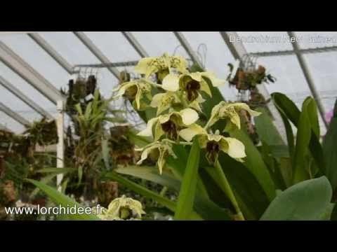 Dendrobium New Guinea - Orchidées Vacherot et Lecoufle - Lorchidee.fr