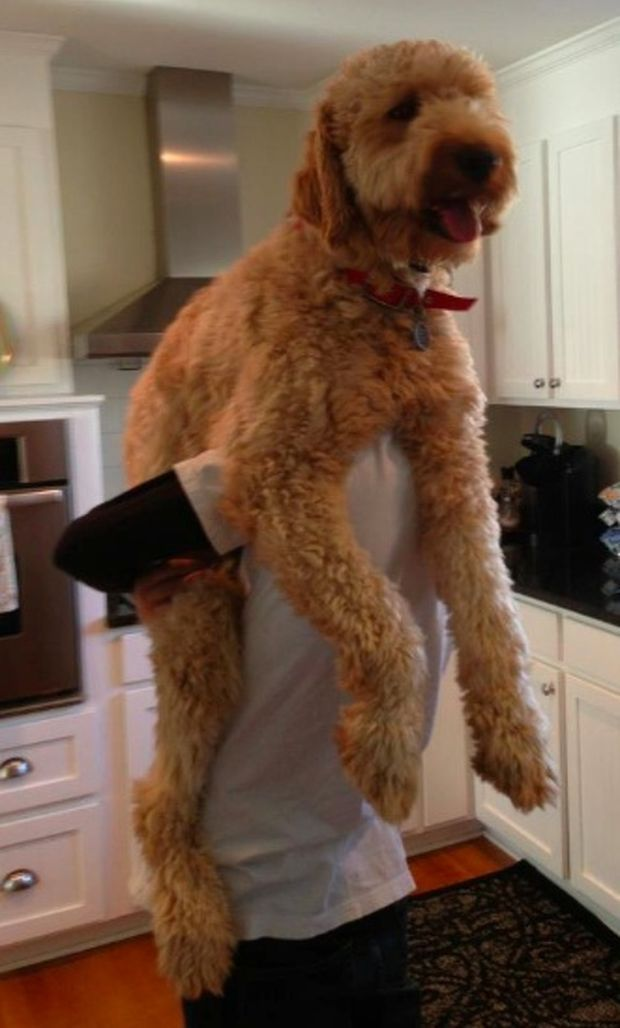 22 Dogs That Became Absolute Units Dogs Goldendoodle Doodle Dog