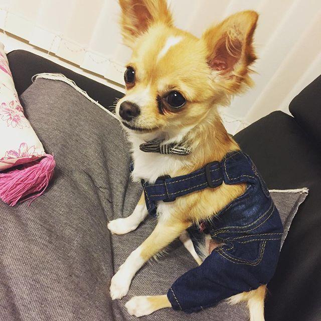 * * やっと着れるようになったサロペットは、激しい抵抗により10分で出番が無くなりました。 * * * *#チワワ #ちわわ#ロングコートチワワ#ロンチー#チワワ写真#犬#チワワ部#チワワ部北海道支部#パピー#パピー犬#犬と暮らす#犬との生活#犬がいる幸せ#愛犬#いぬら部#イヌスタグラム#dogstagram#dog#Chihuahua#小麦#むーちゃん#成長記録