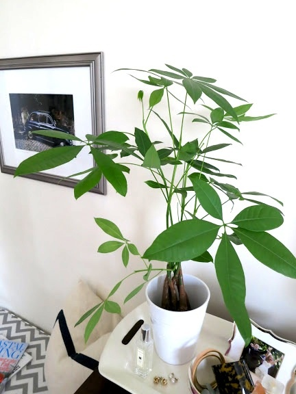 17 best images about feng shui on pinterest indoor - Money tree feng shui placement ...