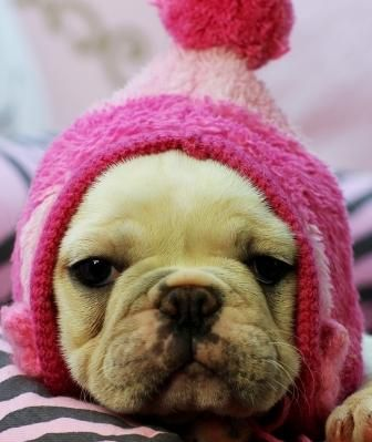 Teacup French Bulldog Puppy:
