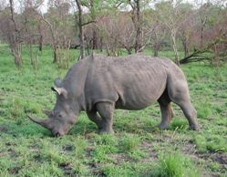 The White Rhinocerous