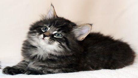 Photo ] Kenali Kucing Hutan Norway Berwajah Manis   Beliafun Blog 2014