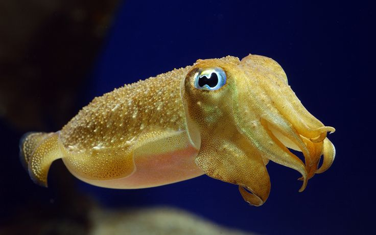 Cuttlefish always look like they're about to cry.