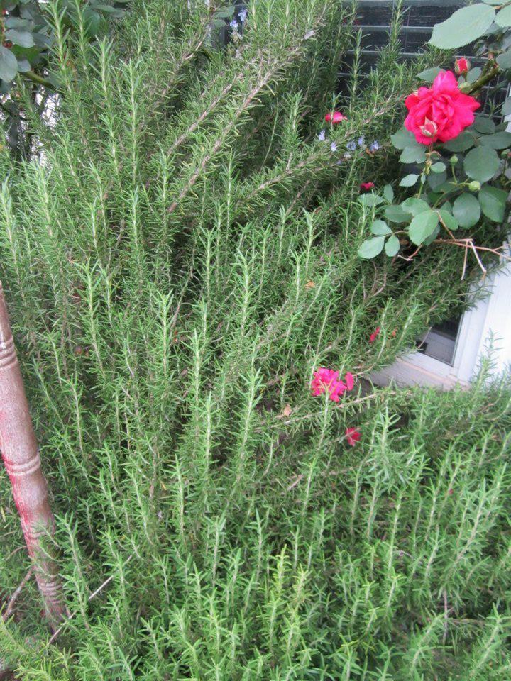 Deer Resistant Plants For Austin And Central Texas Lisa S Landscape D Drought Tolerant Landscape Front Yard Deer Resistant Plants Drought Resistant Plants