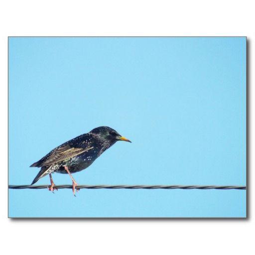 starlings in the sky