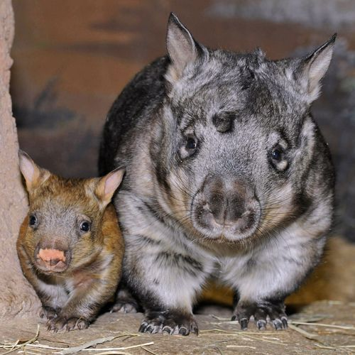 Mother and baby Southern Hairy Nose Wombat. So cute.