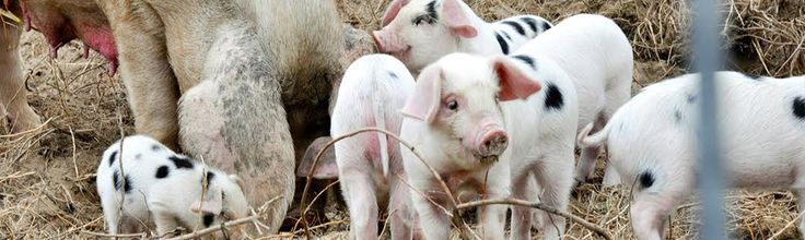 Learn how Gloucestershire Old Spots were once instrumental in cider production—and how one Michigan orchard is bringing them back. See also: piglet pictures.