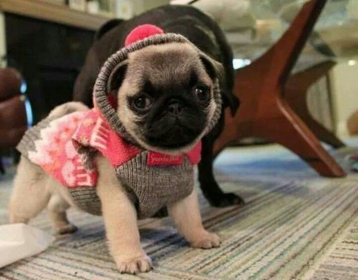 Pug In A Sweater Pugclothes Baby Pugs Cute Pugs Pugs