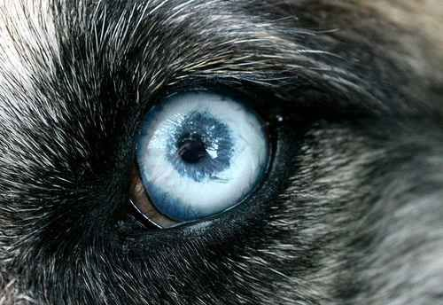 Black wolf with blue eyes drawing - photo#44