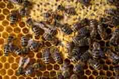 The common bee or wasp is not generally considered dangerous if you are talking about the insect by itself; its only when a hive or nest is present that they pose a danger to anyone that might accidentally disturb them.    thirstypestcontrol.com.au