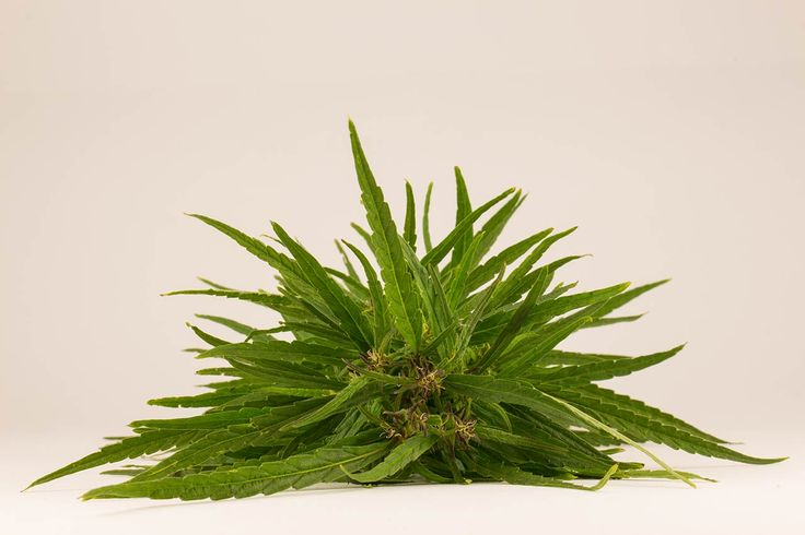 Лечение марихуановой зависимости – это необходимая мера, если осознавать, что она вызывает сильнейшую деградацию личности.Избавиться от аддикции в домашних условиях невозможно.Марихуана – это трамплин к употреблению других наркотиков. 100% героинозависимых начинали свое употребление именно с марихуаны.Помощь доступна по телефону – 8 (800) 707-11-75. (звонок анонимный).