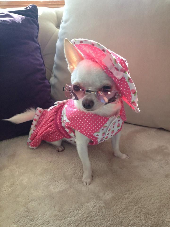 A sassy little chihuahua named Pixie.