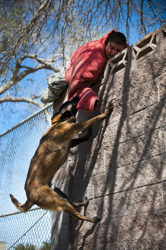 "Military working dog Erik climbs a wall to apprehend a ""suspect,"" Senior Airman Julio Cervantes, a 99th Security Forces Squadron military working dog handler, at Nellis Air Force Base, Nev."