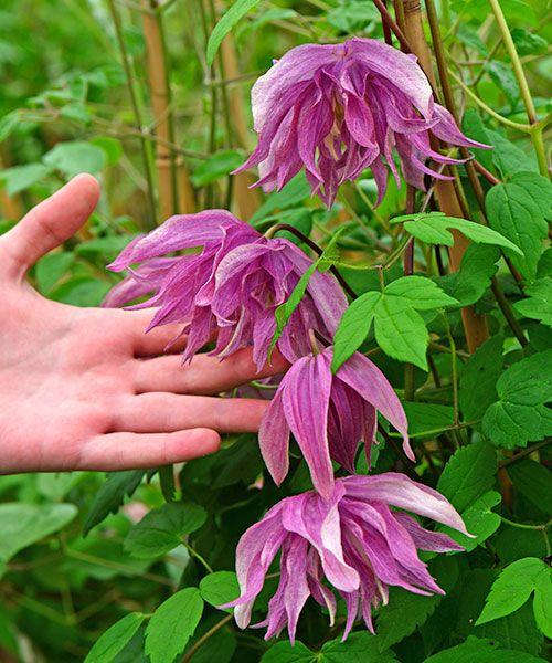 Plamének ´Purple Dream´. Clematis. Pastelově fialové velké květy voní lehkou ovocnou vůní. Velmi nenáročný a odolný plamének, který dobře roste doslova kdekoliv. Kvete dvakrát za sezónu. Plaménky kvetou na loňském dřevě, proto je nezkracujte na jaře, ale až po odkvětu! Stanoviště: slunce - polostín, doba kvetení: květen a červenec - srpen, výška: 2 - 3 m.