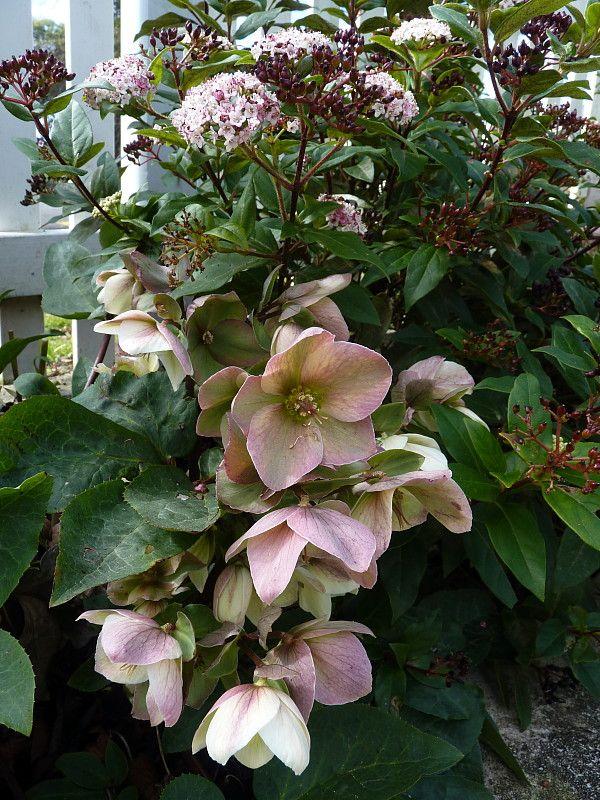 "Winter flowering Hellebore ""Ivory Prince"" & Vibernum tinus ""Eve Price | A garden for all seasons ~ Beauchamp, HEDGE Garden Design & Nursery"