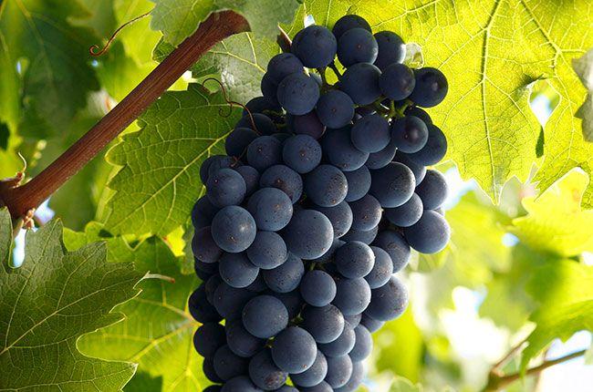 Grape of the month: Cabernet Sauvignon