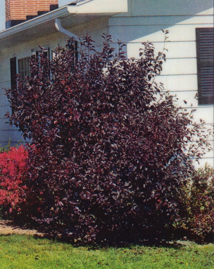 Prunnus Cistena Purple Leaf Sand Cherry Garden Plants