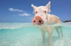 A pig in a sea