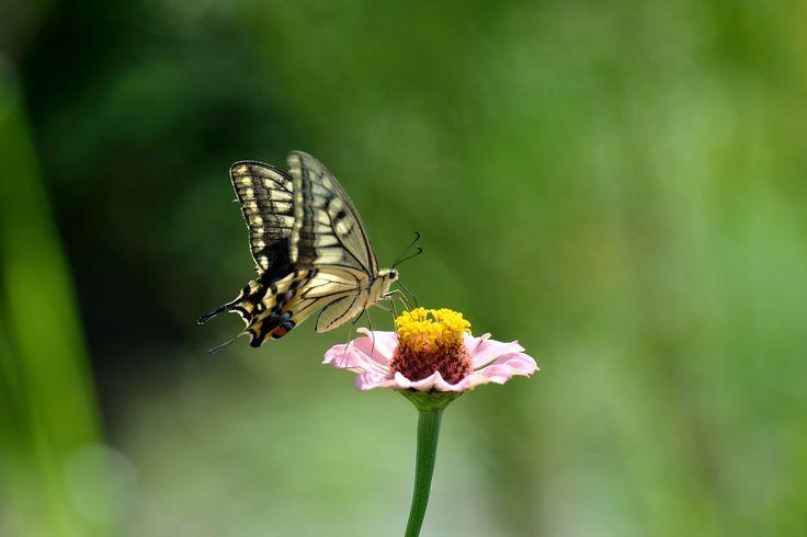 キアゲハ  Papilio machaon ヒャクニチソウ Zinnia elegans