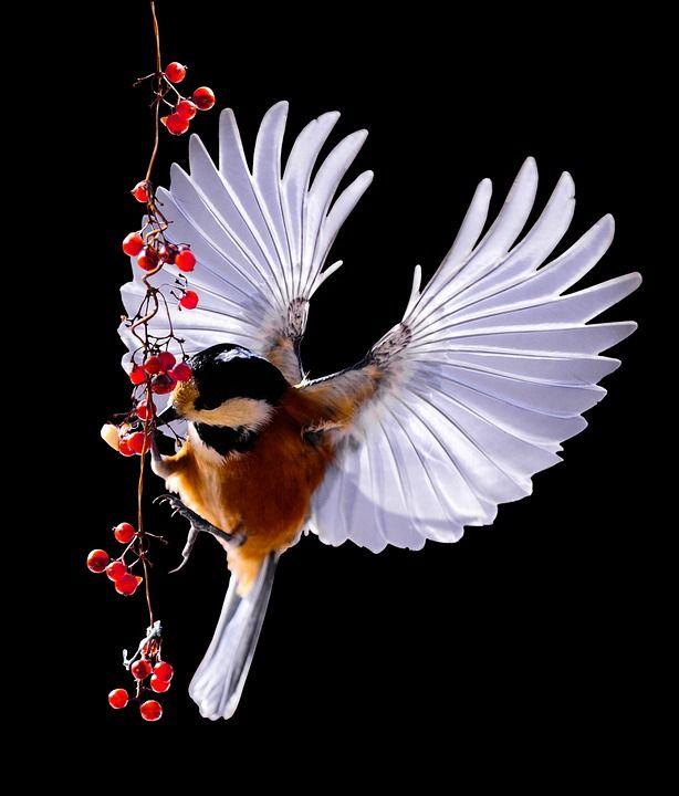 Meise, Vogel, Fliegen, Kohlmeise, Beeren, Vogelbeeren