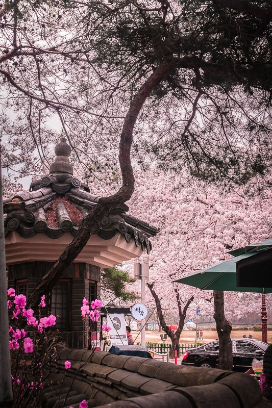 NomadVentura Cherry Blossom