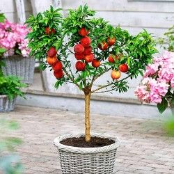 Cumpara Arbori si arbusti fructiferi in magazinul online GradinaMax - pagină 8