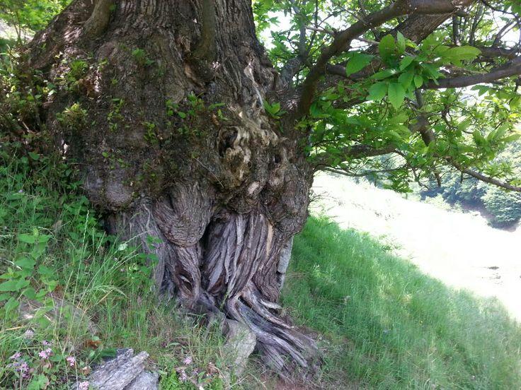 Vecchissimo albero... verso Casa Canada