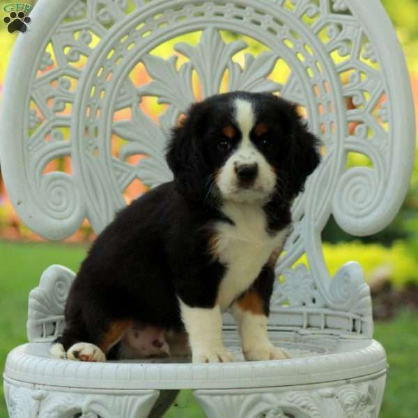 Apple Jack Miniature Bernese Mountain Dog Puppy For Sale In Pennsylvania Miniature Bernese Mountain Dog Bernese Mountain Dog Puppy Puppies