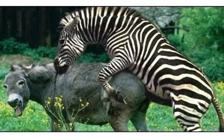 Zebra Mating With Donkey - Zebra & Donkey Hybrid ( Mating ...