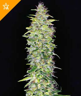 Northern Lights Automatic Seeds -   Northern Lights should be on everybody's must-have list.  Buy Your Own Seeds Here: http://weedseedshop.com/refer.asp?refid={28DF3583-3A1A-4991-93C0-FB5E09CF94DB}&PLU=1580017&l=1