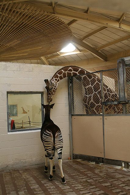 okapi and giraffe. An okapi is kind of like a type of antelope and has similarities of giraffes and zebras. Only the two best animals in Africa ever that aren't cats ;)
