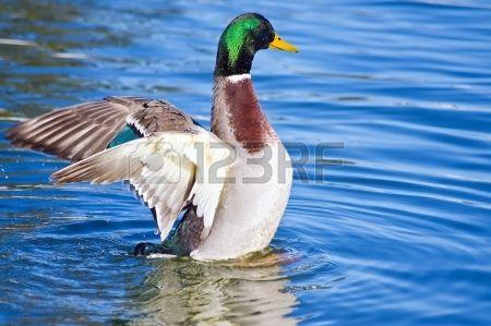 Stockente im Wasser mit seinen ausgebreiteten Fl geln Lizenzfreie Bilder