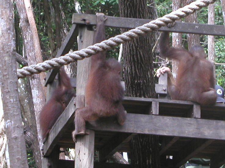 Orangutan in forest