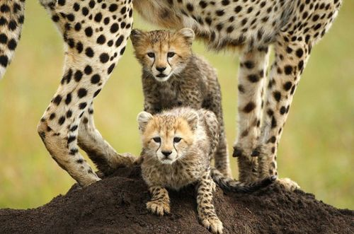 DESERT DREAMER  johannesburg. south africa.: Babies, Pets Animals, Big Cats, Adorable Animals, Cheetah Cubs, Favorite Animal, Baby Animals, Baby Cheetahs, Photo