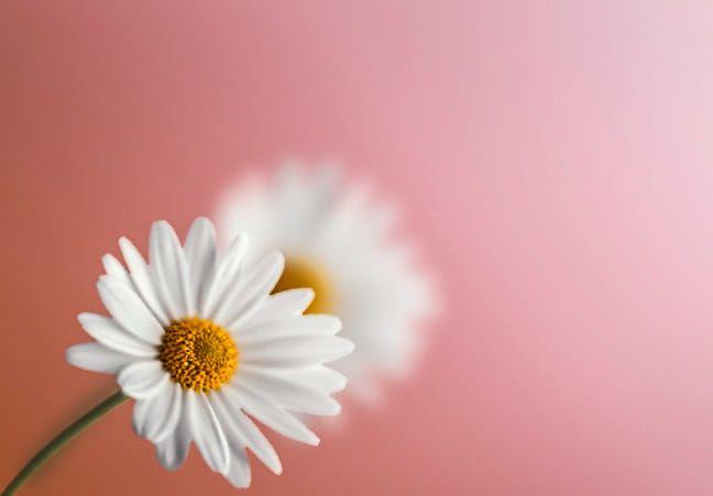 Camomile Flowers Plants Dandelion