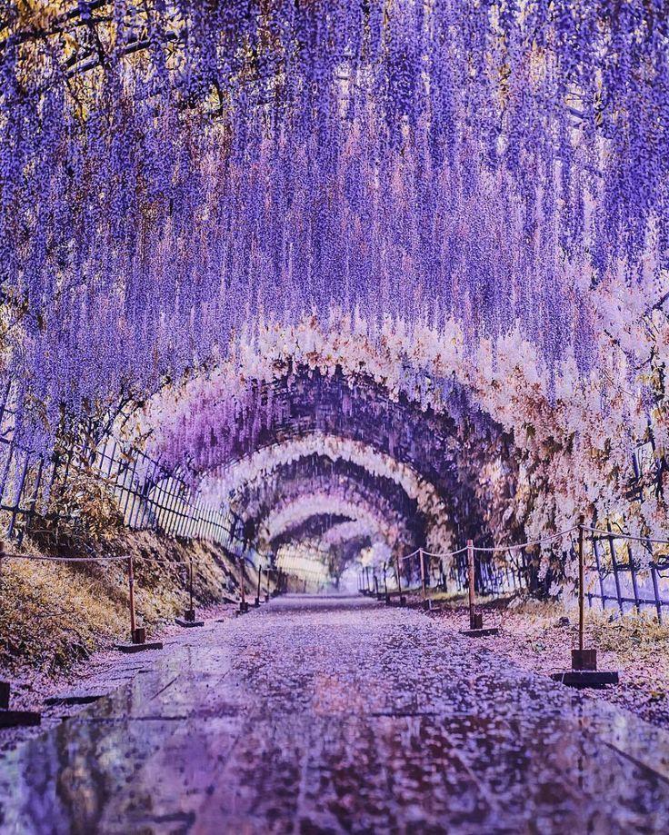 8935cacb95be070cd33ec96d90cd2f7d - Wisteria Tunnel At Kawachi Fuji Gardens Kitakyushu Japan