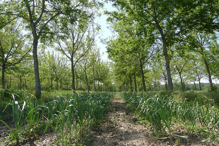 Agroforesterie : Partie intégrante autrefois des champs, les arbres ont été peu à peu abandonnés au profit de la mécanisation. Mais la tendance s'inverse