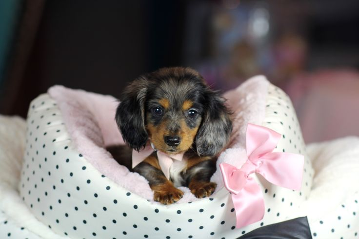 ♥♥♥ Mini Dachshund! ♥♥♥ Bring This Perfect Baby Home Today! Call 954-353-7864 www.TeacupPuppiesStore.com <3 <3 <3 TeacupPuppiesStore - Teacup Puppies Store Tea Cup Puppies Store - TeacupPuppiesStore.com