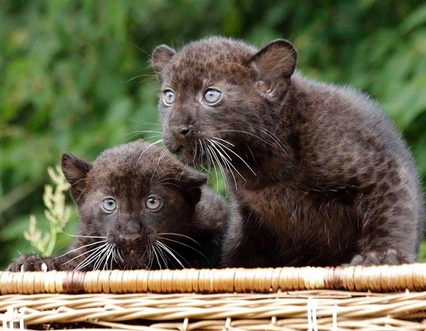 Baby panters named Remaong and Farra