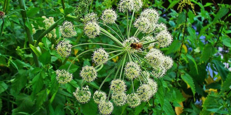 "Dong Quai (Angelica sinensis) is also known as Chinese Angelica and is primarily known for its uses in treating women's problems including lack of sexual desire, the symptoms of menopause, cramps and PMS. For this reason also commonly known ""female ginseng""."