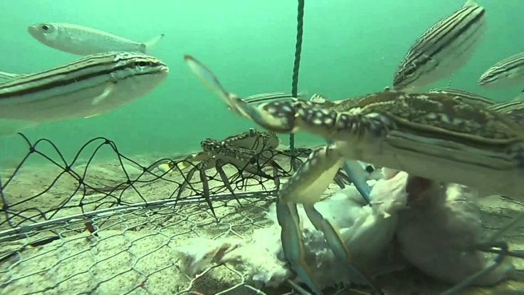 Fisherman Attaches GoPro Camera To Crab Net To See What Goes On Underwater