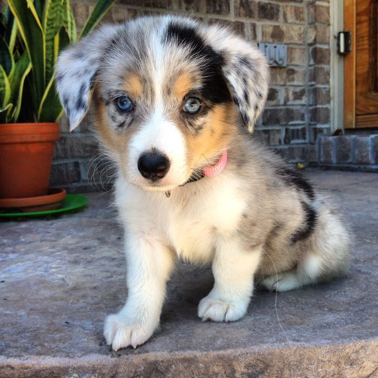 #MuttAppreciation: Look how adorable this Australian Shepherd / Corgi #puppy is! Would you call him a Australian Shorgi, or what?