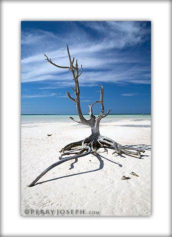 Lone Tree, Harbour Island